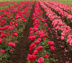 Bulgarian Roze Valley